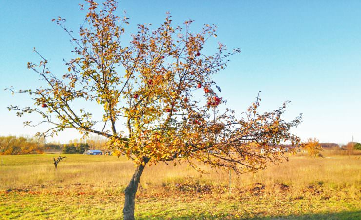 apple-tree-trimmed-for-fall